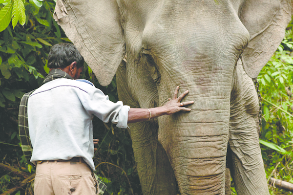 A mahout guides a logging elephant with the tips of his fingers. Dibrugarh Forest, Joypur, Arunachal Pradesh.