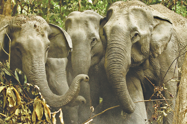 Wild female elephants cool themselves with dirt and huddle to protect their babies in Kaziranga National Park, Assam.