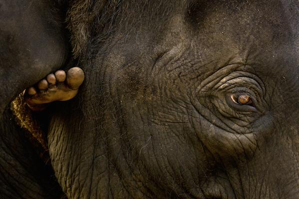 A mahout rides an elephant to Periyar River, Kodanad Elephant Training Center. Kodanad, Kerala.