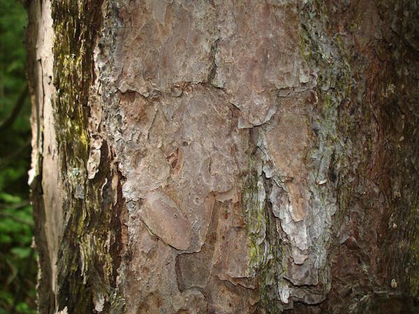 Shortleaf pine bark KCRW