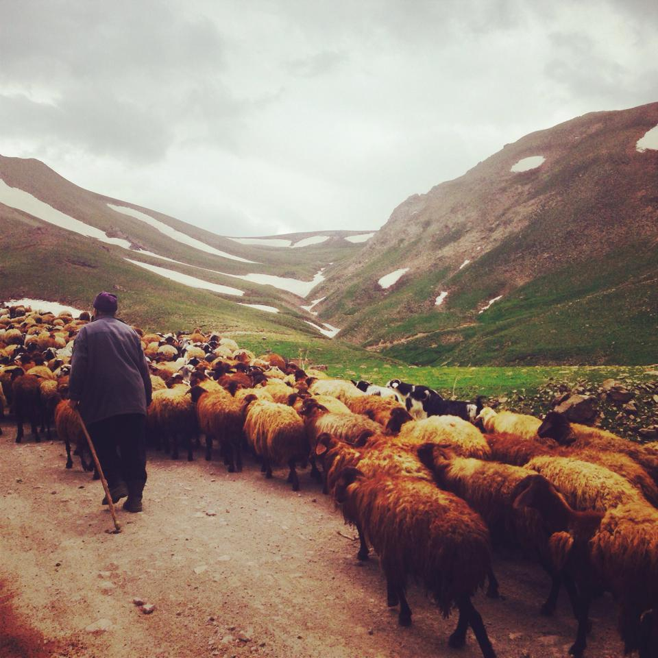 A shepherd leads his flock through the Sahand mountains, Azerbaijan province