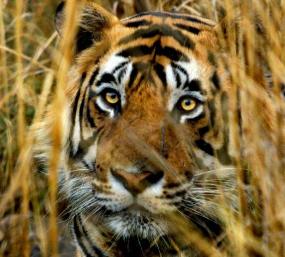 The Campaign to Save India's Tigers Ignores the Human Cost of Conservation