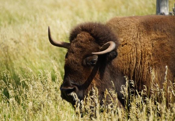 Independent South Dakotan Buffalo Ranchers Don't Kill Their Meat, They Harvest It